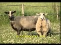 Jesus is calling the lost sheep * song with English lyrics * sing George Christian CS