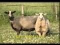Jézus hívja kósza juhait